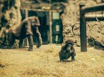 Gorilla Baby Buffalo Zoo Image libre de droits