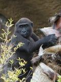 Gorilla baby climbing tree. A baby western lowland gorilla climbing tree Stock Photo