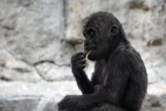 Gorilla baby Royalty Free Stock Photos