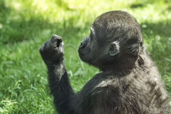 Gorilla baby is exploring blade of grass Royalty Free Stock Photo