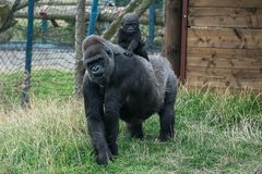 Gorilla and baby Royalty Free Stock Image
