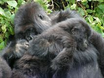 Gorilla and Baby Gorilla Stock Photos