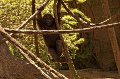 Gorilla. A baby gorilla hanging out and swinging from limb to limb Royalty Free Stock Images