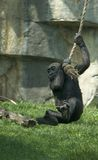 Gorilla Baby Having Fun. Gorilla baby swinging on a rope like Tarzan royalty free stock photography