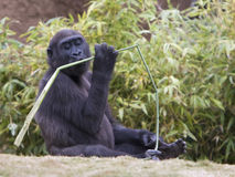 Gorilla baby kissing branch. A western lowland gorilla baby enjoying a plant stalk stock photos