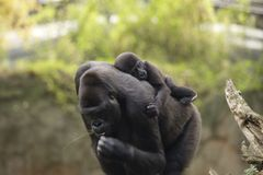 A young baby gorilla is sleeping on the back of mother Stock Photography