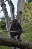Gorilla. Baby monkey playing in a tree with a rope stock images