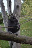 Gorilla. Baby monkey playing in a tree with a rope royalty free stock photography