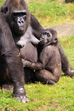 Gorilla baby nursing Royalty Free Stock Photos