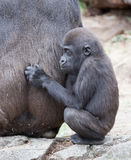 Gorilla baby Royalty Free Stock Photography