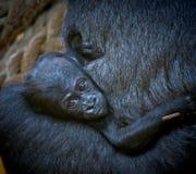 Gorilla baby Royalty Free Stock Photo