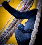 Gorilla baby Stock Photos