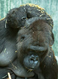 Gorilla with baby Royalty Free Stock Photography