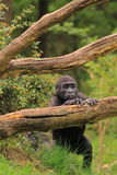 Gorilla baby standing Stock Images