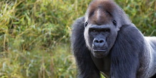 Gorilla banner. Closeup portrait of a gorilla making eye contact with room for text Royalty Free Stock Photos