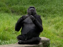Gorilla beating chest. Close up of Gorilla on rock beating chest Stock Images