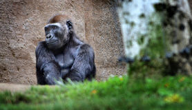 Gorilla Being Coy. A female Silverback Gorilla takes in the day, happy and content Royalty Free Stock Photos