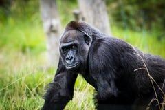 Gorilla bella circa da sorridere Fotografie Stock Libere da Diritti