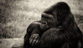 Gorilla in bianco e nero Immagini Stock Libere da Diritti
