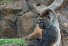 Gorilla. Big gorillas male relaxing Stock Image