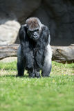 Gorilla. Big single mammal on grass Stock Photography