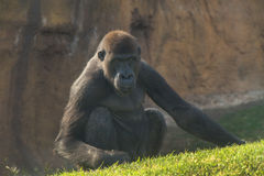 Gorilla Royalty Free Stock Photography