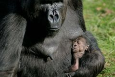 Free Gorilla Birth Stock Photo - 3706540
