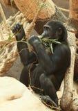 Gorilla Stock Photography