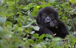 Gorilla boy (4 years old) Royalty Free Stock Images