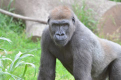 Gorilla boy. A young male western-lowland gorilla waits near some vegatation Stock Photos