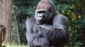 Gorilla Beside Brown Rock Stock Images