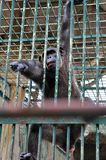 Gorilla in the Cage royalty free stock photo