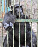 Gorilla in the Cage. Asking for food, Samutprakan Crocodile Farm and Zoo, Thailand Royalty Free Stock Photo