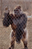 Gorilla in cage Stock Photo