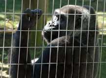 Gorilla in the Cage. Adult gorilla looking sadly through a cage stock photos