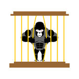 Gorilla in cage in  Zoo. Strong Scary wild animal in captivity. Royalty Free Stock Images