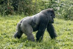 Gorilla strolling by Stock Image