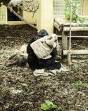 Gorilla in captivity Royalty Free Stock Photo
