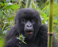 Gorilla che mangia nella giungla del Ruanda Fotografia Stock