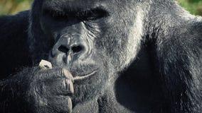 Gorilla che mangia primo piano archivi video
