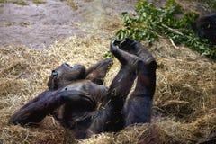 Gorilla che si distende nel giardino zoologico fotografie stock libere da diritti