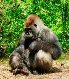 Gorilla che si siede e che guarda intorno fotografia stock