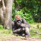 Gorilla che si siede nell'erba immagini stock libere da diritti