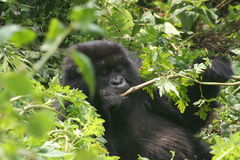 Gorilla chewing on vegetation Royalty Free Stock Image