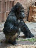 Gorilla Chief är ilsken Royaltyfria Bilder