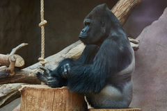 Gorilla Chief håller ögonen på Arkivfoto