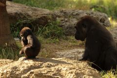 A gorilla child sits in meditation as his mother at sunset in the savannah stock photography