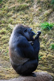 Gorilla cleaning Royalty Free Stock Photos