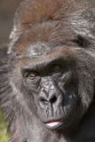 Gorilla close-up Stock Images