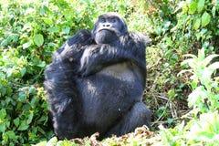 Gorilla Stock Images